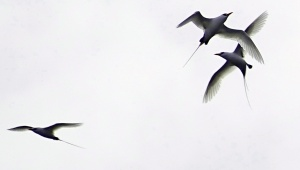Pitcairn Tropic birds